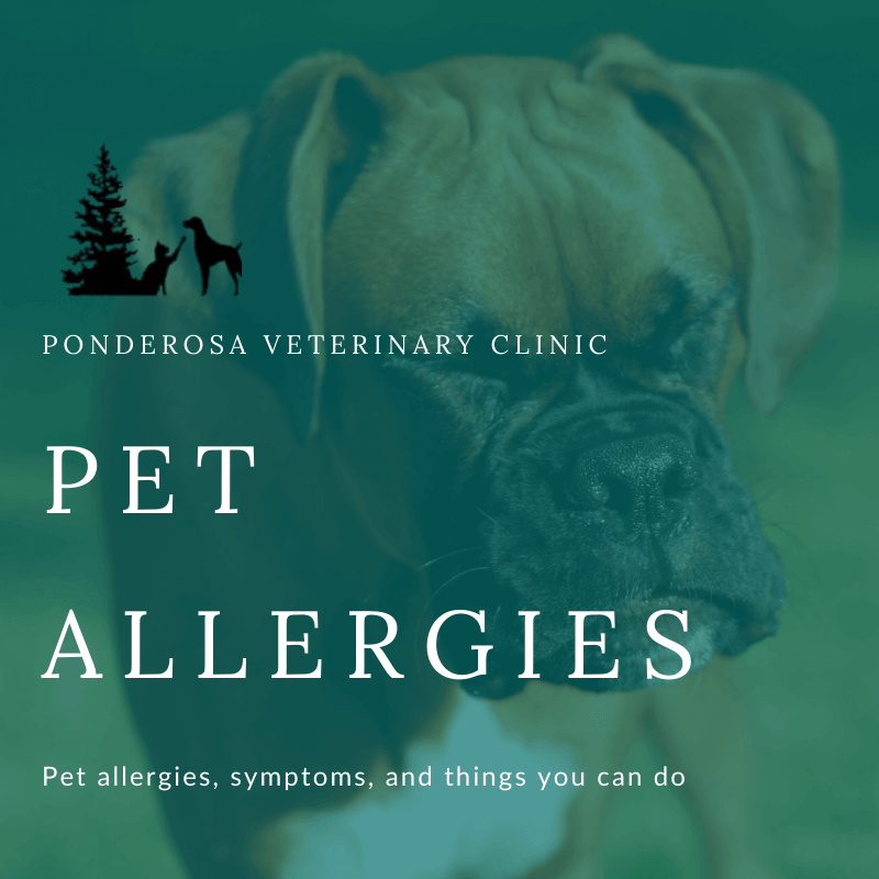 graphic showing pet allergies symptoms cures